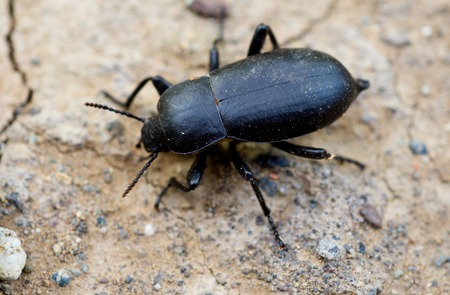 geotrupidae: Dung beetle Stock Photo