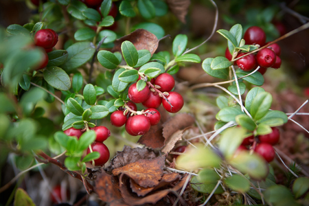 Bush fall ripened blueberries with fallen Birch leaves. Stock Photo