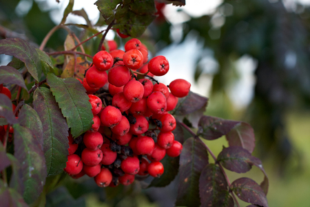 Bunch of ripe Rowan berries on a branch in the leaves.