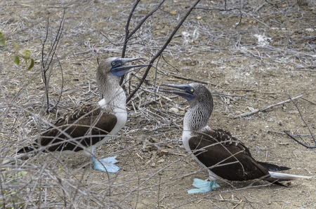 boobie: The blue-footed booby (Sula nebouxii) is a marine bird native to subtropical and tropical regions of the Pacific Ocean