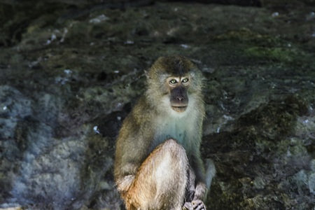 Macaques usually go to the sea by the rocks and among the caves to feed on crustaceans found there Pang Nga Bay, Andaman Sea, Thailand.