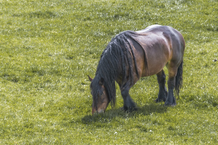 Classic horse in the Dutch farms stands out for its small stature its great weight and its power of shot very appreciated for its docility and its resistance to work. Netherlands