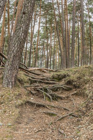 view of tree roots and pine forest one autumn day in the navacerrada region. Madrid's community. Spain. Foto de archivo