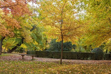 Park with vibrantly colored trees in its yellow and orange green foliage and grass with full of autumnal leaves. Aranjuez. Madrid's community . Spain