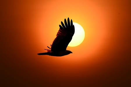 flew: ( bird )Brahminy Kite flew into the shadows of the evening sun.