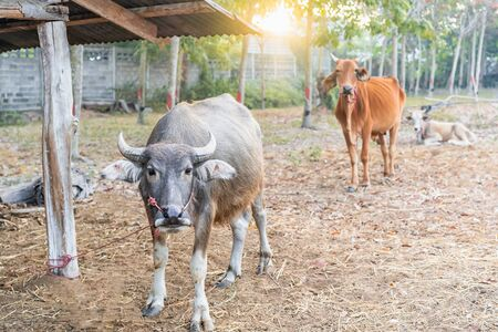 Selective focus of a buffalo standing in the front of two blur cow relaxing on the farm countryside at sunrise in Thailand