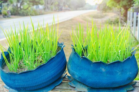 Close-up of fresh green spring onions growing in the blue flower pots isolated road background 写真素材