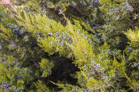 enebro: juniper branches with berries Foto de archivo
