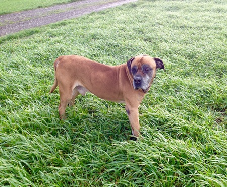 boerboel dog: South african mastiff