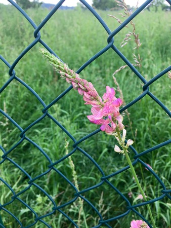 wire fence: Flowering sainfoin in front of a wire fence Stock Photo