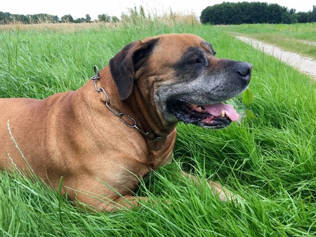 boerboel dog: Boerboel, south african mastiff on a meadow