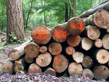 deforested: Stacked tree trunks for timber industry in the forest