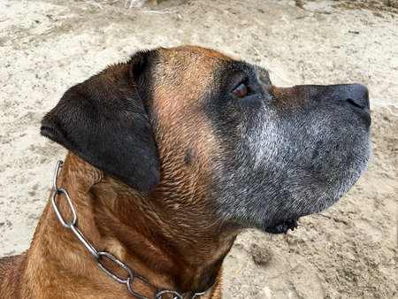 boerboel dog: Portrait from a Boerboel, south african mastiff