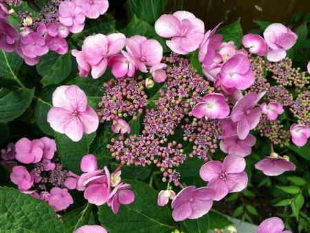 asterids: Blooming pink hydrangea in the garden