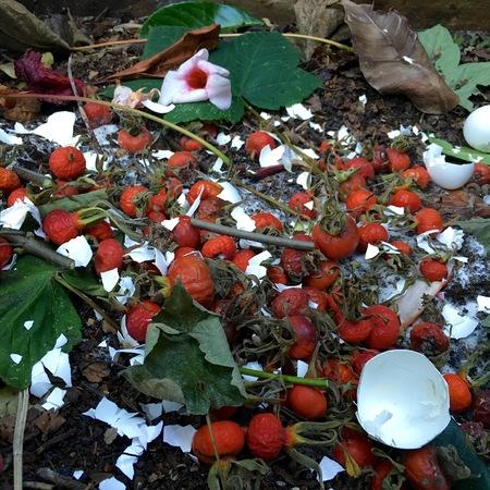 desechos organicos: los residuos orgánicos de compost fresco y con los escaramujos en el jardín