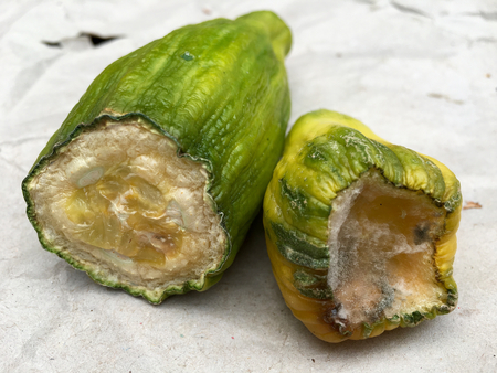 Two pieces of rotten cucumber on gray paper