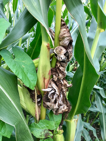 Corn smut (Ustilago maydis) on maize in field