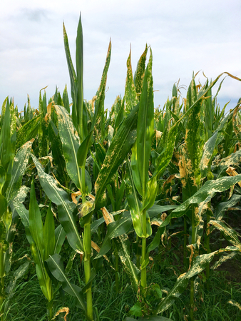 Northern corn leaf blight of maize (Helminthosporium or Turcicum) in field
