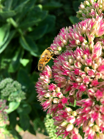 European hoverfly (Eristalis tenax) on a summer day