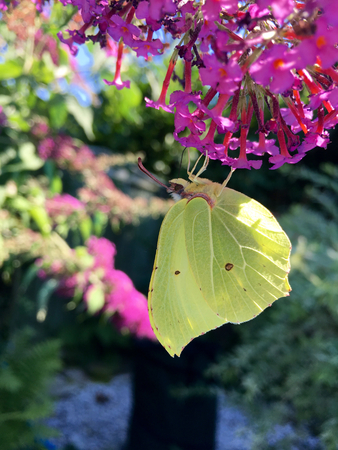 Yellow butterfly (Gonepteryx rhamni) on a purple flower in the garden on a sunny day