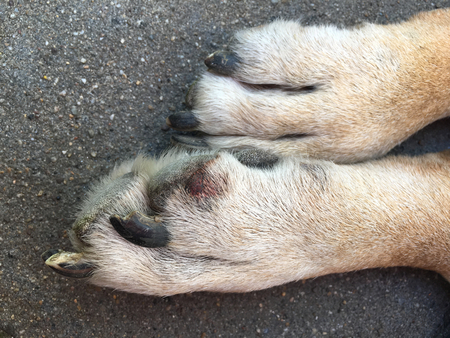 Paw of a big dog with a small wound