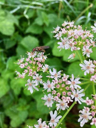 House fly (Musca domestica) on a blooming flower head