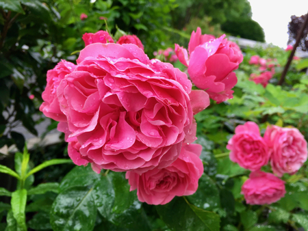 Blooming flower head of a rose with raindrops Stock Photo