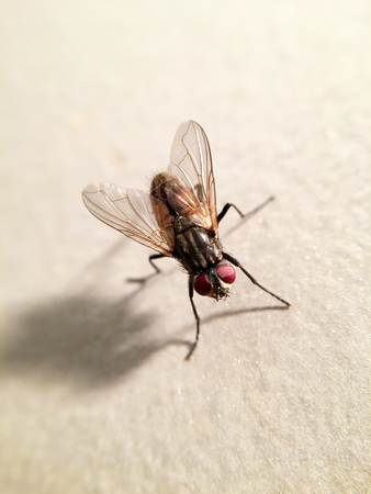 Beautiful housefly (Musca domestica)