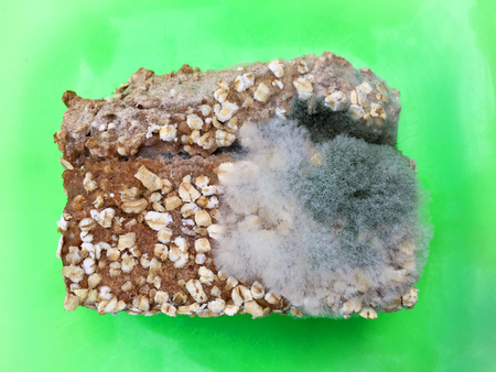 One slice of wholemeal bread overgrown with food mold fungi on a green plate