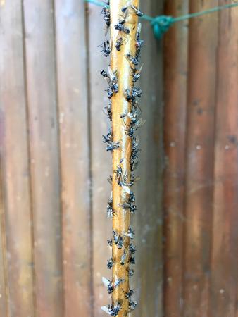 Dead flies on a flycatcher Stock Photo