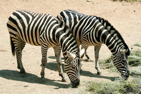 Zebra mother and her children. Zebras eating grass.