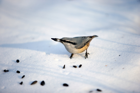 flocks: Forest wild bird pecking at seeds on the snow in the Park