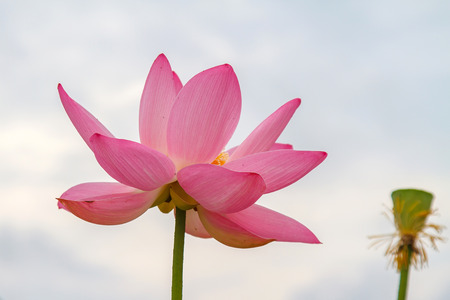 Lotus Flower Rare Flower Ancient Flower Symbol Of Purity Stock