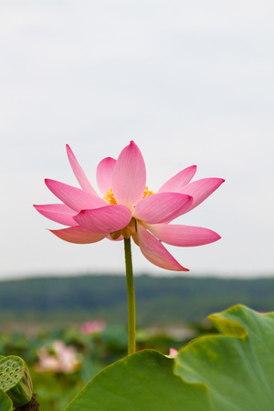 nelumbo: Lotus flower, rare flower, bee on a flower, ancient flower, symbol of purity, symbol of Buddhism, Nelumbo, Lotus orehonosny, Species listed in the Red book, flower Asia and Orient.
