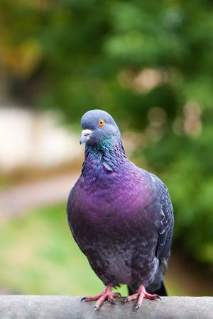 pigeon: Dove grey. Beautiful pigeon close up. City birds. Pigeons of the Church. The bird view.