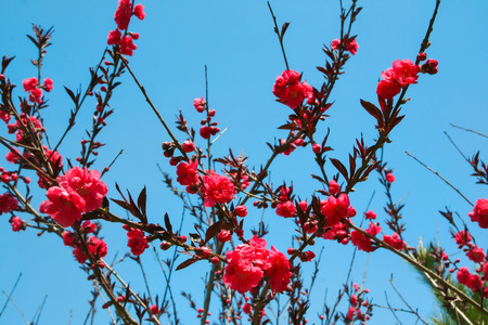 elasticity: Sakura. Flores de primavera. Naturaleza de China. Las flores de cerezo. Primer plano de flores. flores delicadas.