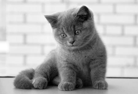 buena postura: Hermoso gatito. modelo de Kitty. Gatito británico, gatito lindo y hermoso bebé. el color azul en gatos de raza, mascota, gato de la buena postura.
