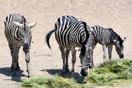 zoology: Zebras in the Park. The mother Zebra. Zebra calf. A mother and her child. Family of zebras. Zoology. The Safari Park. Animals for tourists. Striped horses. Wildlife. Stock Photo