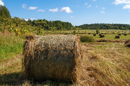 feedstock: Coil haystacks in the field, autumn harvested field. Rural views of the meadow with an oblique grass and haystacks. Food for cows and horses.