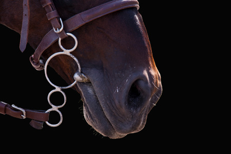 bridle: Lips of the Horse in bridle close on black. The sight of a horse. Horse isolated on a black background. Thoroughbred horse chestnut suit. Stock Photo