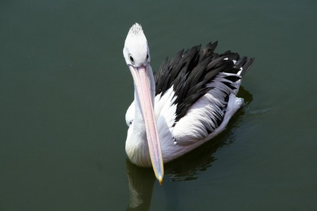 the ornithology: White Bird Pelican floats in the water. Beautiful waterbird of ornithology in wildlife. Stock Photo