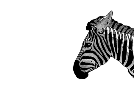 Of a zebra head. Horse Zebra isolated on white background. Mammals are animals. Herbivorous African animals. Stock Photo