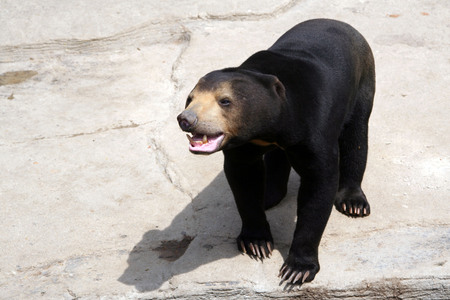 ussuri: Asiatic black bear. Himalayan bear. Himalayan black bear. Ussuri black bear. Wild animals. Planet of the beasts. Selenarctos, moon bear. Short-haired bear. Smooth haired bear. Stock Photo