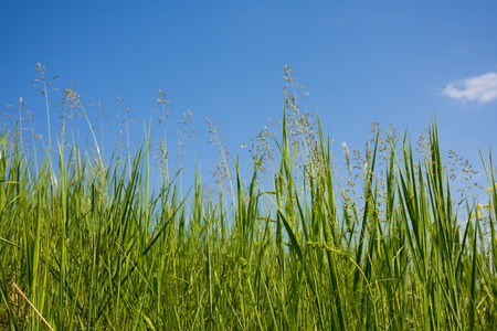 Green grass on blue sky. Grass and sky. Summer panorama of wild nature. A large sky on a summer day. Stock Photo