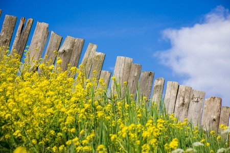 Pastoral views of the palisade of boards surrounded by yellow flowers. Palisade fence is a village. Rural life outside the city. Landscape on bright flowers and a wooden fence on a ranch.