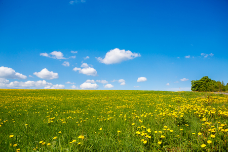 Rural views to flower meadow, undulating terrain. Field with yellow dandelions to the horizon. Pastoral panorama of nature summer. Beautiful landscape of a Sunny day.