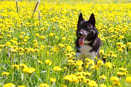 huskies: Dog sitting in dandelion field. Walk dogs Huskies nature in colors. A hunting dog Russian - European Laika.