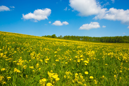 Rural views to flower meadow and blue sky, undulating terrain. Field with yellow dandelions to the horizon. Pastoral panorama of nature summer. Beautiful landscape of a Sunny day.