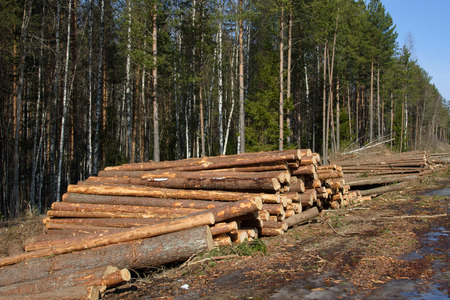 Stacks of cut trees stacked a bunch in the springin the Northern forest. Cut down the trees. Pine wood industry. Fallen trees. Supply of tree trunks.