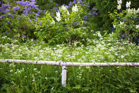 enclosing: Natural birch fence enclosing the lush deserted garden with flowers and trees. The landscape is relaxing.